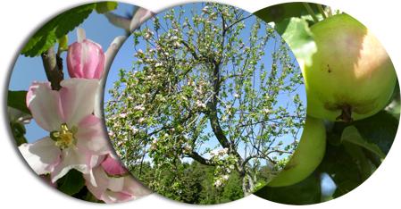 äppelträd i blom och frukt